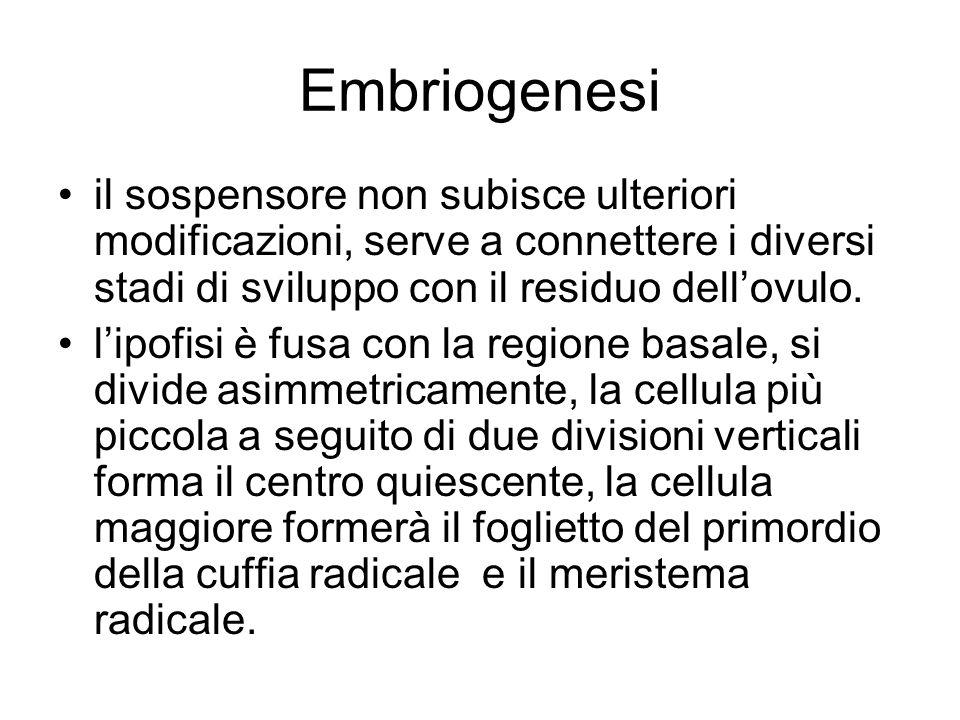 Embriogenesi il sospensore non subisce ulteriori modificazioni, serve a connettere i diversi stadi di sviluppo con il residuo dell'ovulo.