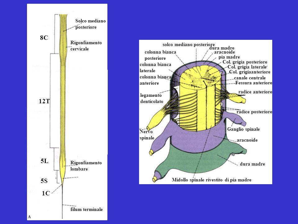 8C 12T 5L 5S 1C Solco mediano posteriore Rigonfiamento cervicale