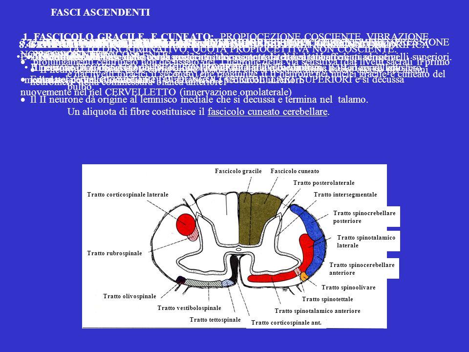 Un aliquota di fibre costituisce il fascicolo cuneato cerebellare.