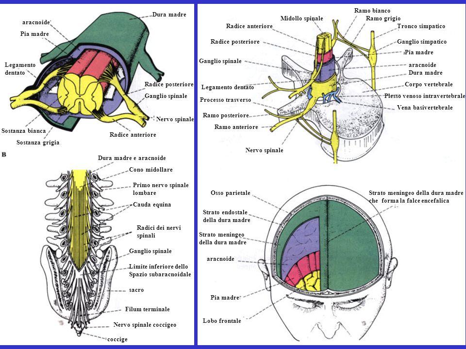 Ramo bianco Dura madre. Midollo spinale. Ramo grigio. aracnoide. Radice anteriore. Tronco simpatico.