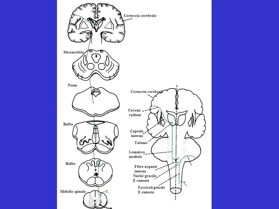 Corteccia cerebrale Mesencefalo. Ponte. Corteccia cerebrale. Corona. radiata. Bulbo. Capsula.