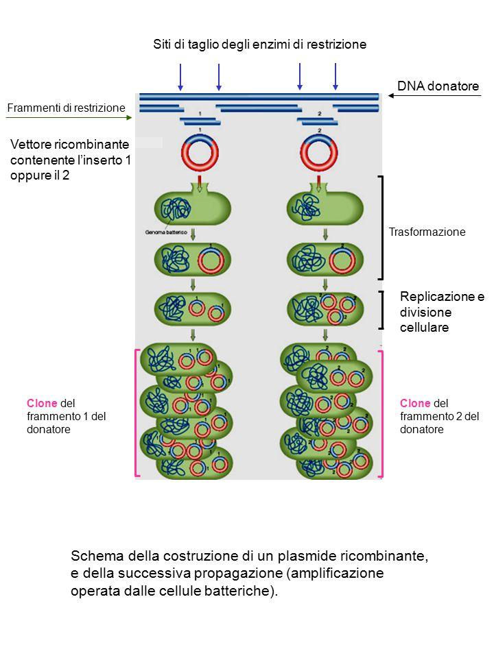 Siti di taglio degli enzimi di restrizione
