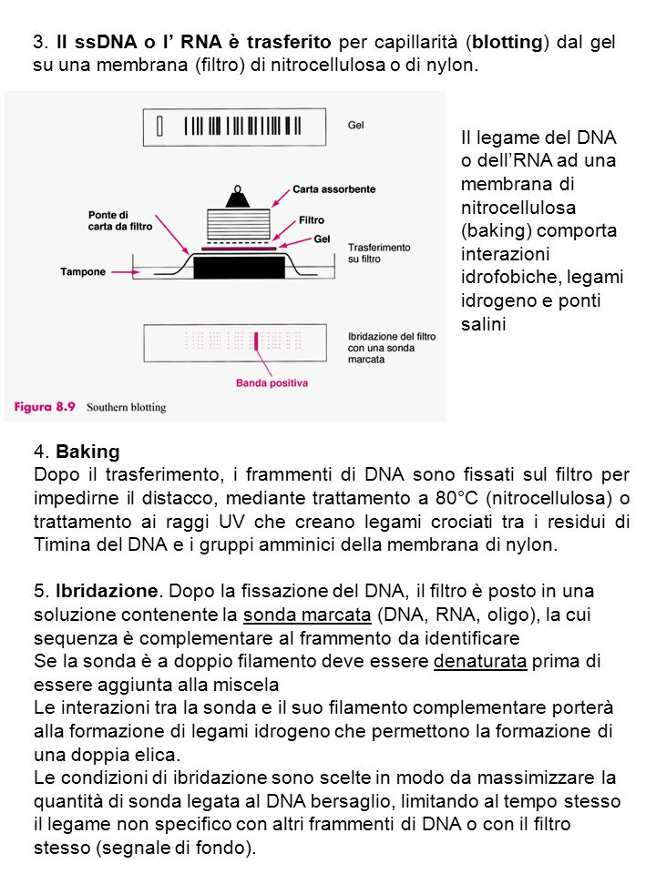 3. Il ssDNA o l' RNA è trasferito per capillarità (blotting) dal gel su una membrana (filtro) di nitrocellulosa o di nylon.