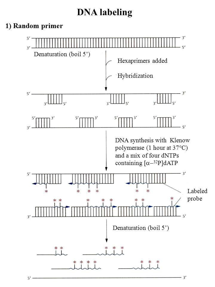 DNA labeling 1) Random primer Denaturation (boil 5') Hexaprimers added