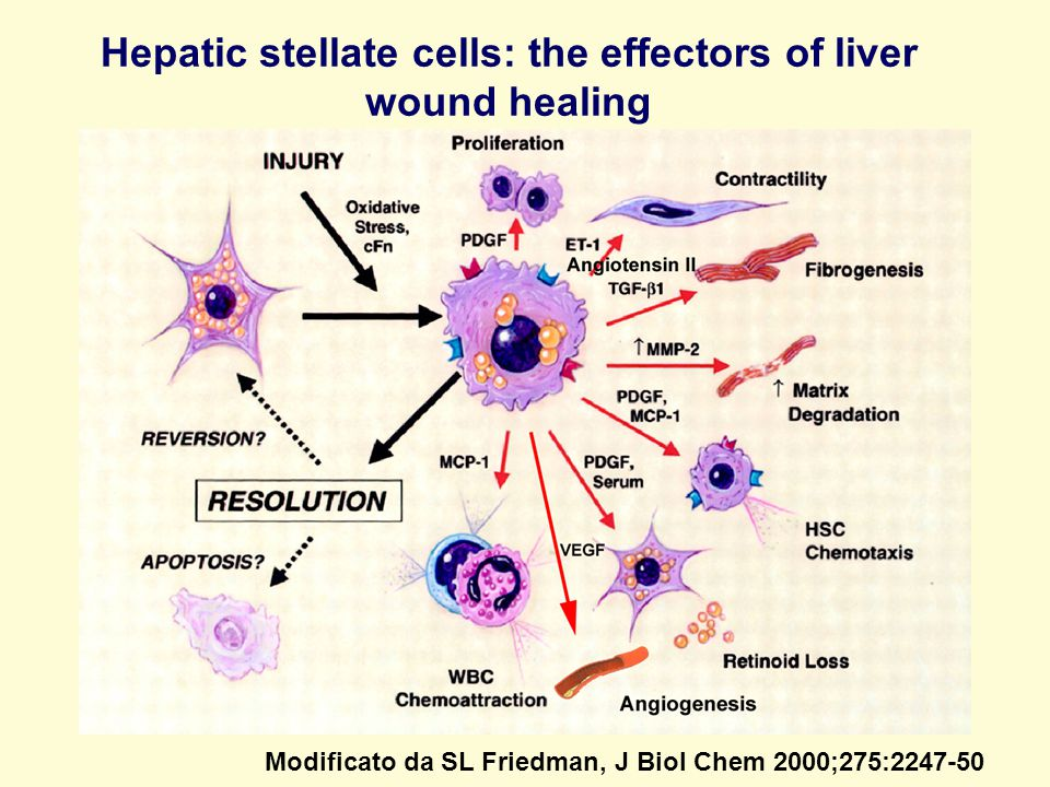 Hepatic stellate cells: the effectors of liver wound healing