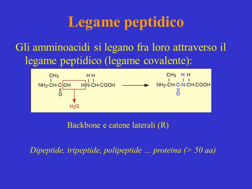 Legame peptidico Gli amminoacidi si legano fra loro attraverso il legame peptidico (legame covalente):