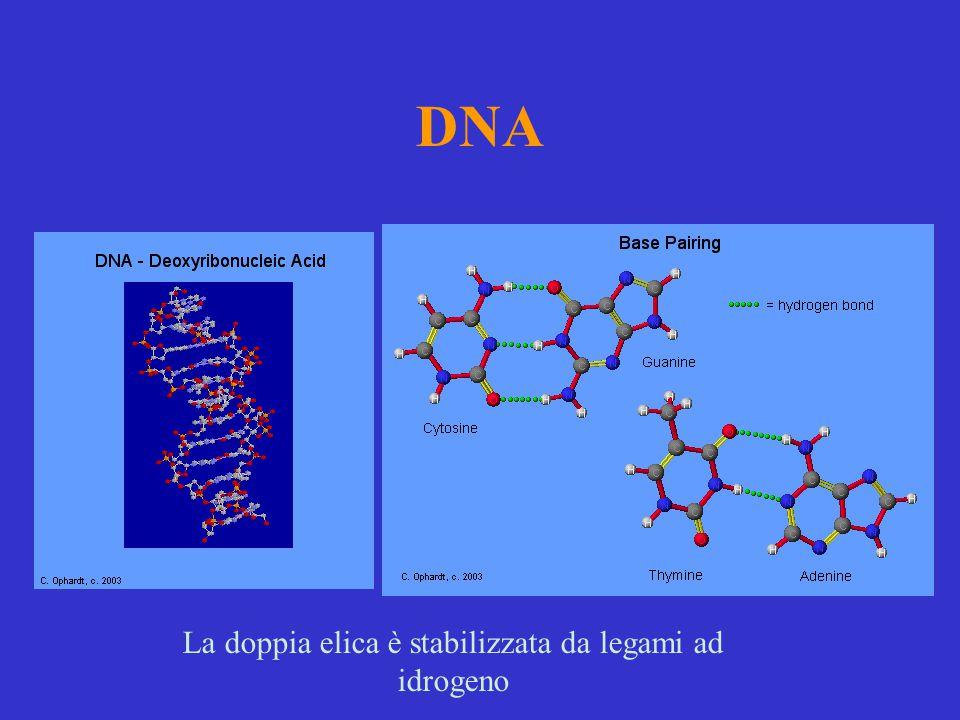 La doppia elica è stabilizzata da legami ad idrogeno