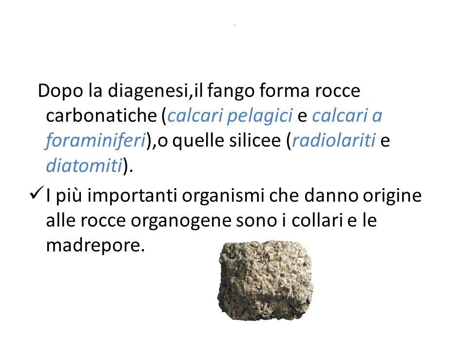 . Dopo la diagenesi,il fango forma rocce carbonatiche (calcari pelagici e calcari a foraminiferi),o quelle silicee (radiolariti e diatomiti).