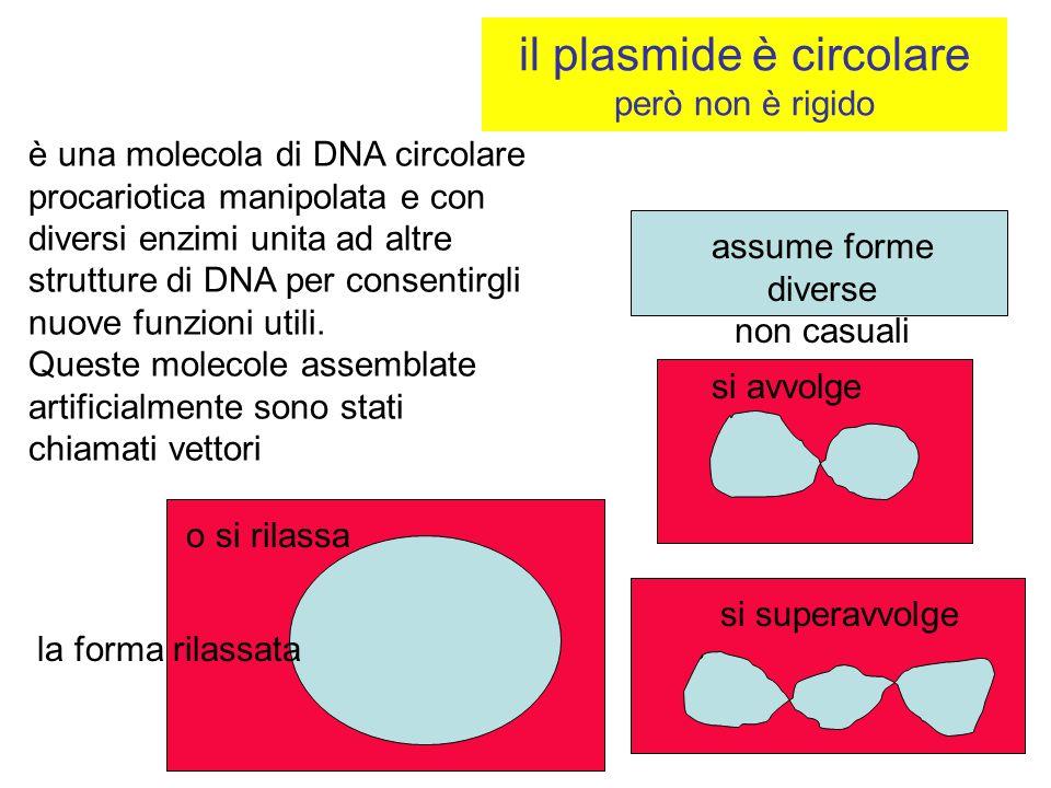 il plasmide è circolare però non è rigido