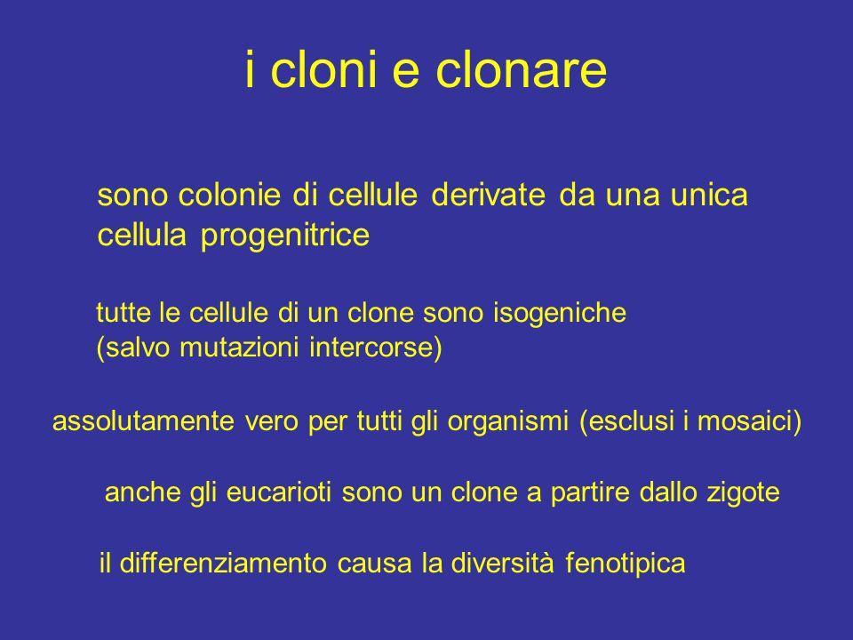 i cloni e clonare sono colonie di cellule derivate da una unica cellula progenitrice. tutte le cellule di un clone sono isogeniche.