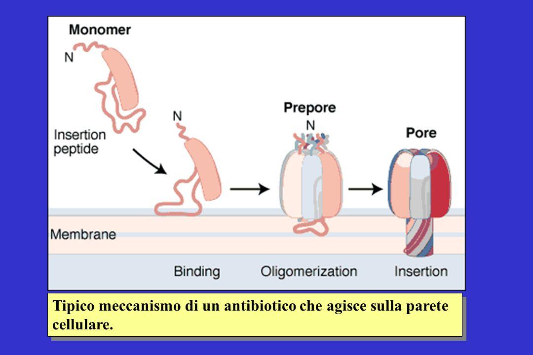 Tipico meccanismo di un antibiotico che agisce sulla parete cellulare.