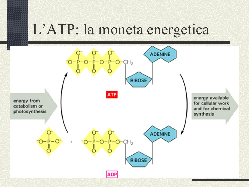 L'ATP: la moneta energetica