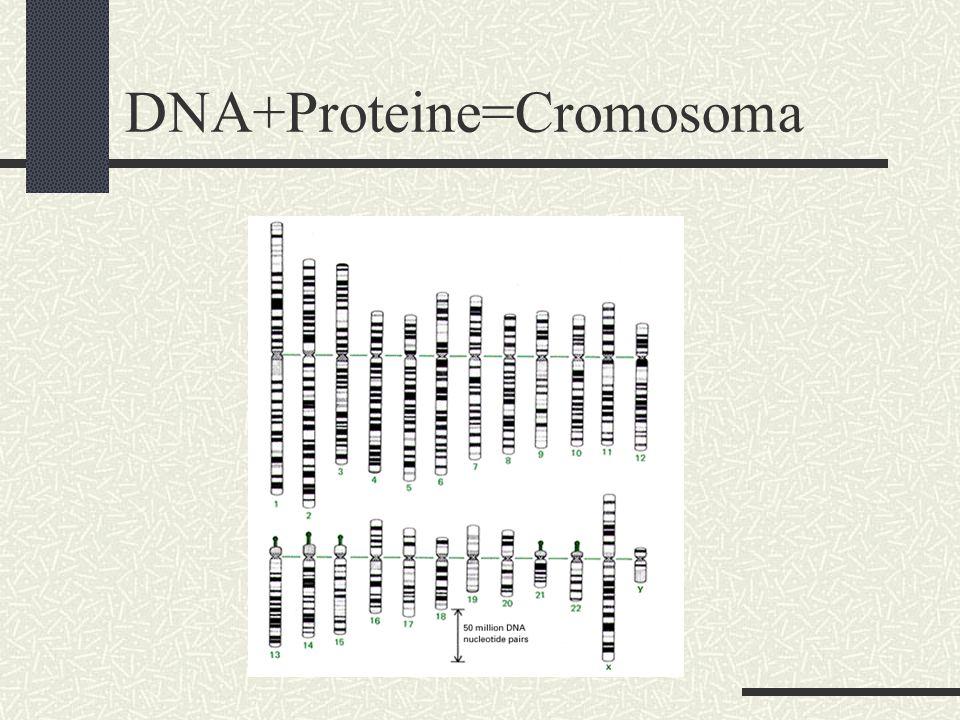 DNA+Proteine=Cromosoma