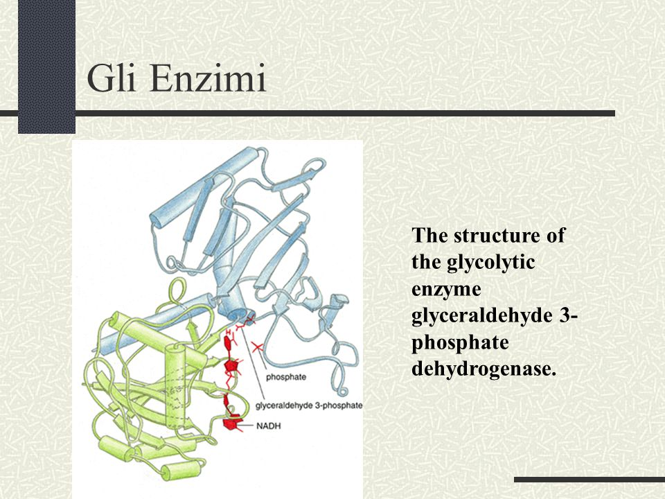 Gli Enzimi The structure of the glycolytic enzyme glyceraldehyde 3-phosphate dehydrogenase.