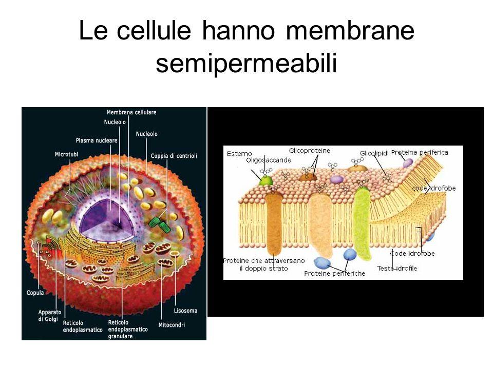 Le cellule hanno membrane semipermeabili