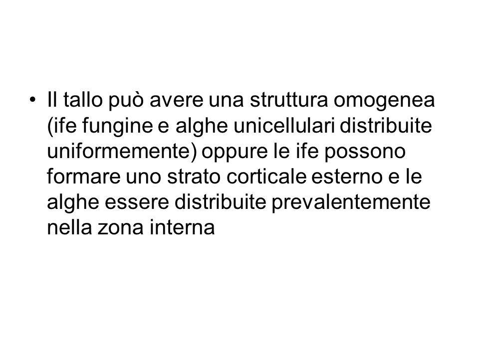Il tallo può avere una struttura omogenea (ife fungine e alghe unicellulari distribuite uniformemente) oppure le ife possono formare uno strato corticale esterno e le alghe essere distribuite prevalentemente nella zona interna