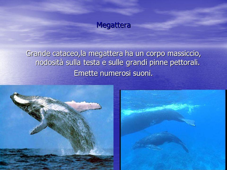 Megattera Grande cataceo,la megattera ha un corpo massiccio, nodosità sulla testa e sulle grandi pinne pettorali.
