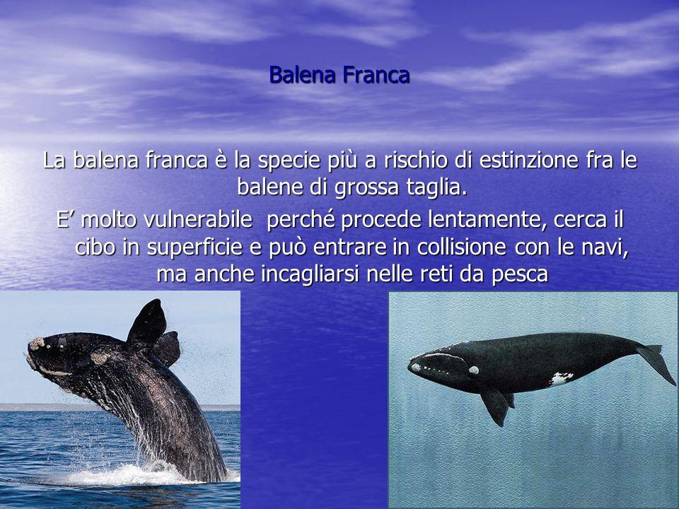 Balena Franca La balena franca è la specie più a rischio di estinzione fra le balene di grossa taglia.