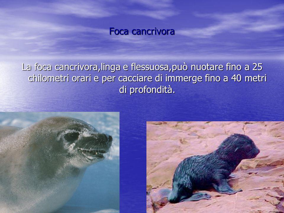 Foca cancrivora La foca cancrivora,linga e flessuosa,può nuotare fino a 25 chilometri orari e per cacciare di immerge fino a 40 metri di profondità.