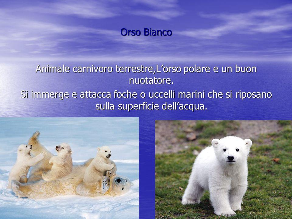 Animale carnivoro terrestre,L'orso polare e un buon nuotatore.