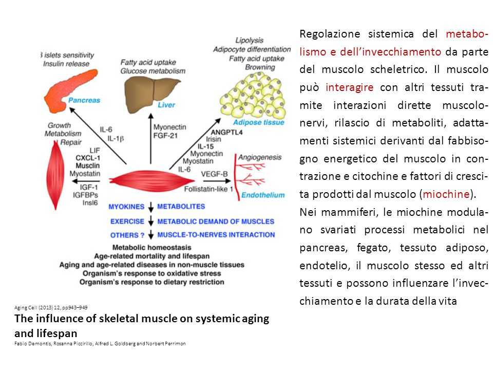 The influence of skeletal muscle on systemic aging and lifespan