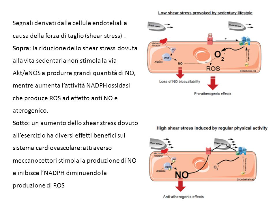Segnali derivati dalle cellule endoteliali a causa della forza di taglio (shear stress) . Sopra: la riduzione dello shear stress dovuta alla vita sedentaria non stimola la via Akt/eNOS a produrre grandi quantità di NO, mentre aumenta l'attività NADPH ossidasi che produce ROS ad effetto anti NO e aterogenico.