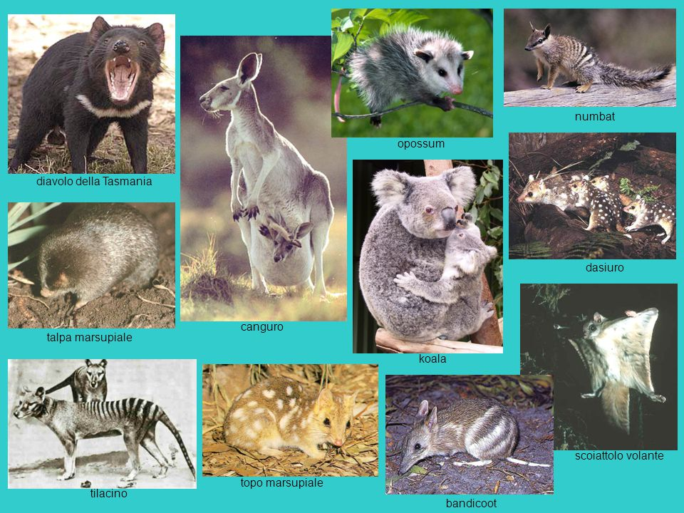 numbat opossum. diavolo della Tasmania. dasiuro. canguro. talpa marsupiale. koala. scoiattolo volante.