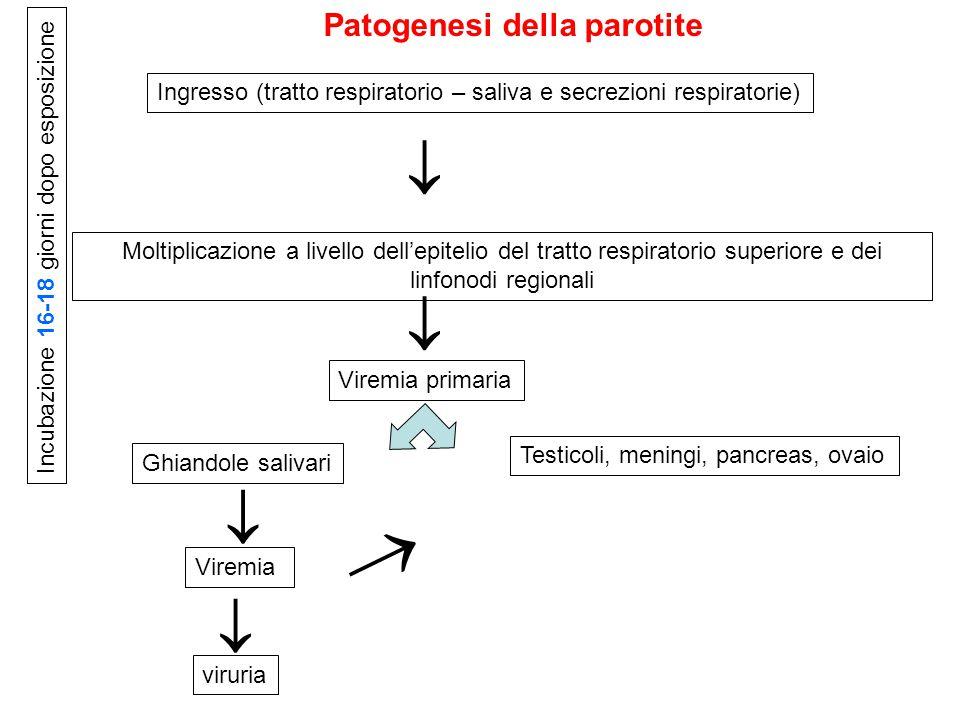      Patogenesi della parotite