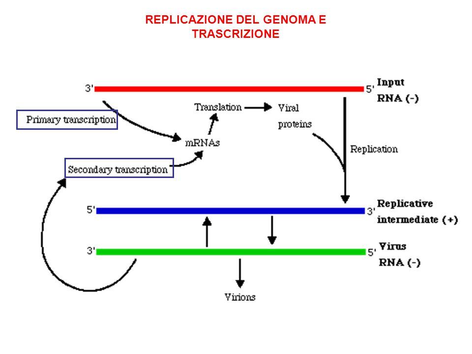 REPLICAZIONE DEL GENOMA E TRASCRIZIONE