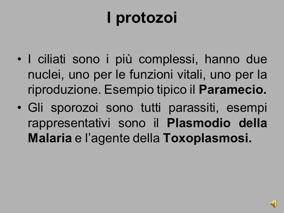 I protozoi I ciliati sono i più complessi, hanno due nuclei, uno per le funzioni vitali, uno per la riproduzione. Esempio tipico il Paramecio.
