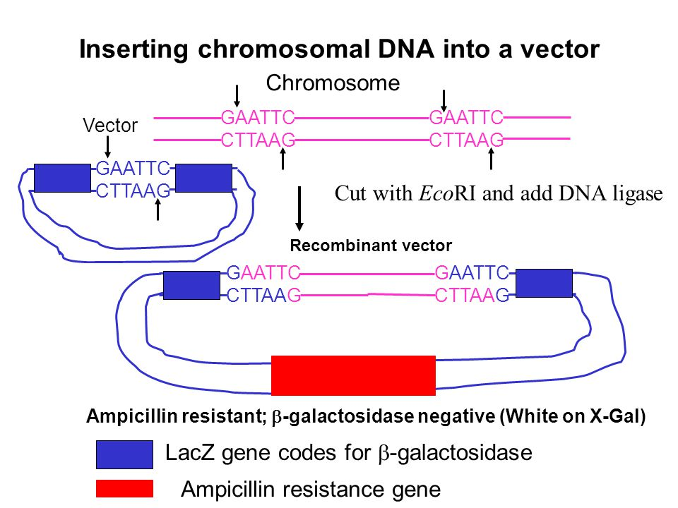 Inserting chromosomal DNA into a vector