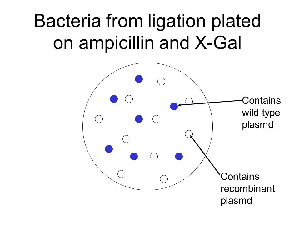 Bacteria from ligation plated on ampicillin and X-Gal