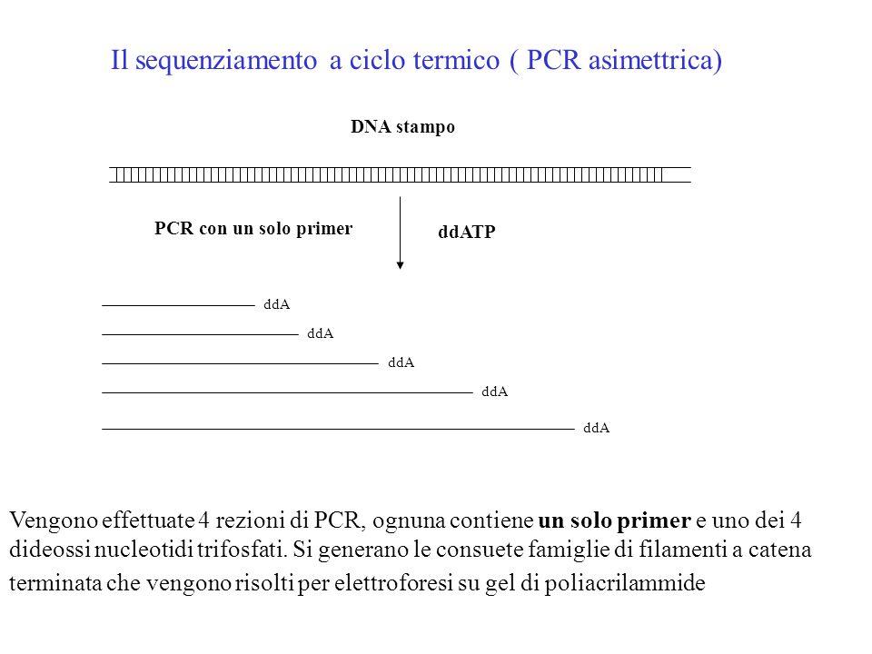 Il sequenziamento a ciclo termico ( PCR asimettrica)