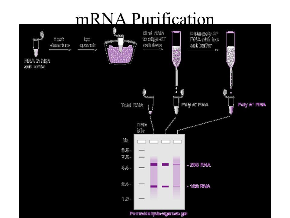 mRNA Purification 1. Total RNA Purification