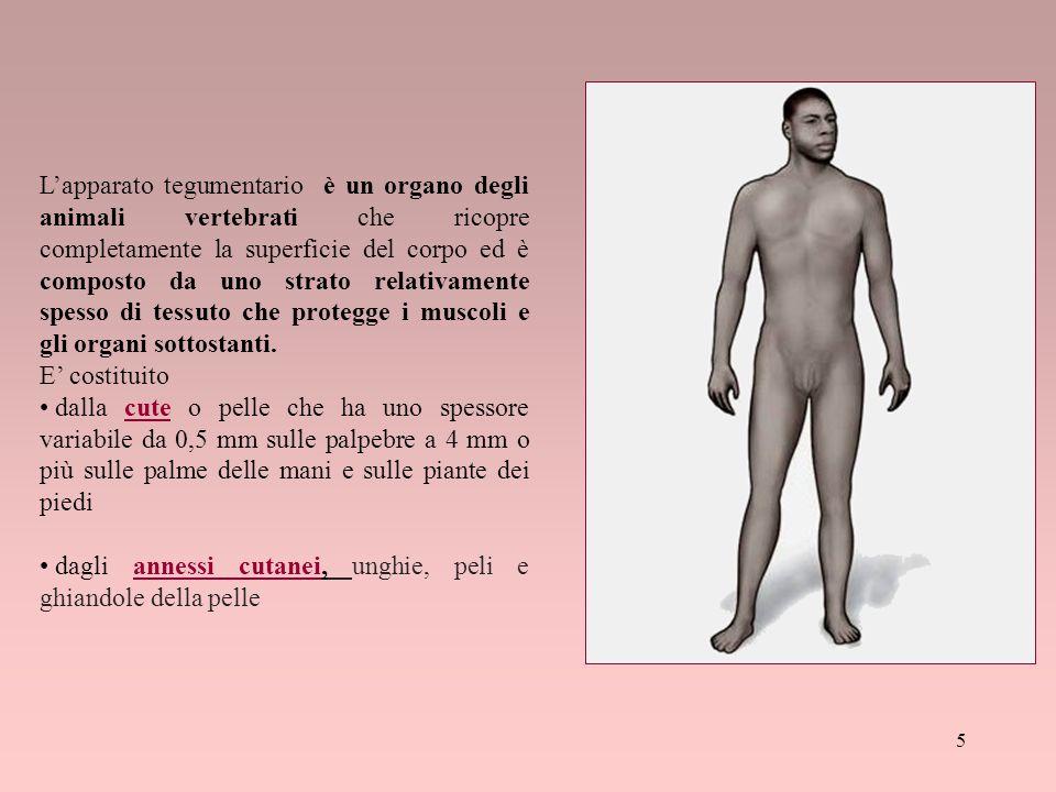L'apparato tegumentario è un organo degli animali vertebrati che ricopre completamente la superficie del corpo ed è composto da uno strato relativamente spesso di tessuto che protegge i muscoli e gli organi sottostanti.