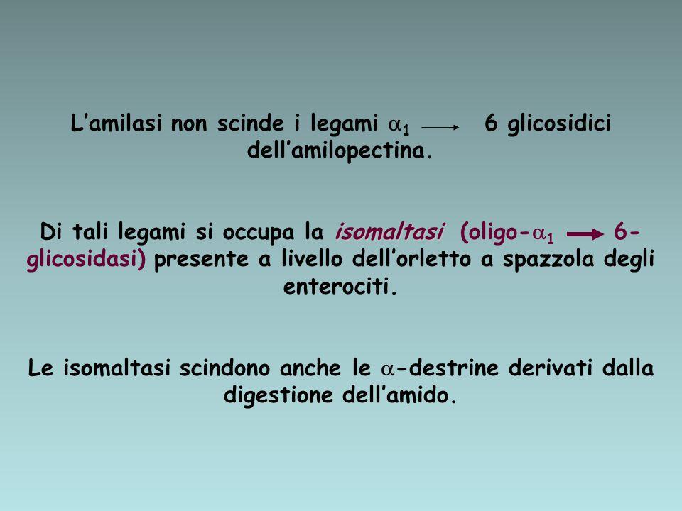 L'amilasi non scinde i legami 1 6 glicosidici dell'amilopectina.