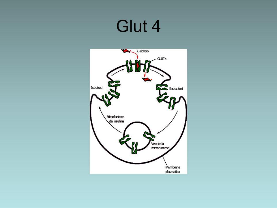 Glut 4