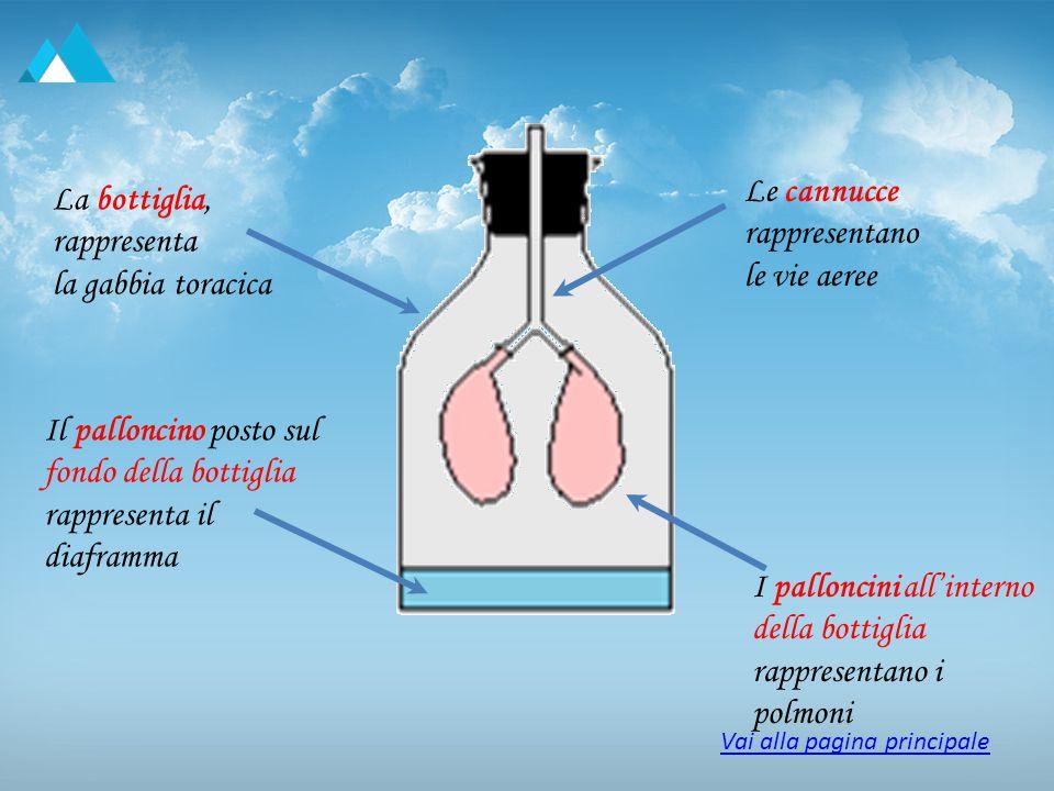 Le cannucce rappresentano le vie aeree La bottiglia, rappresenta