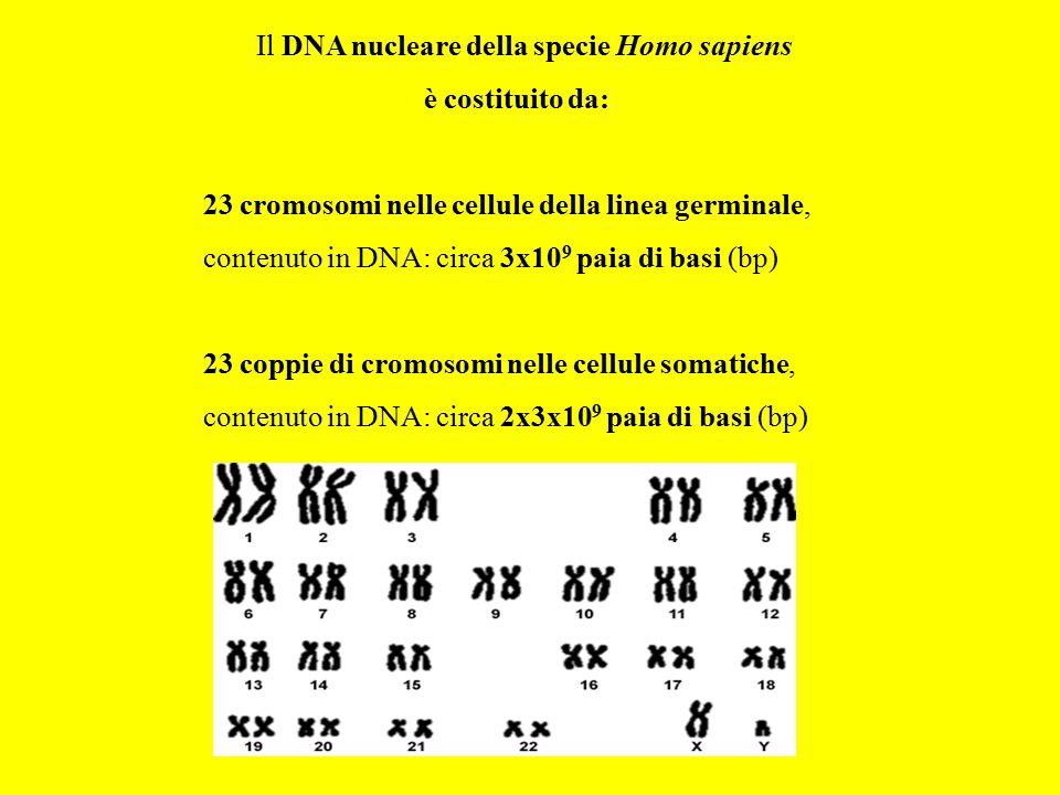 Il DNA nucleare della specie Homo sapiens
