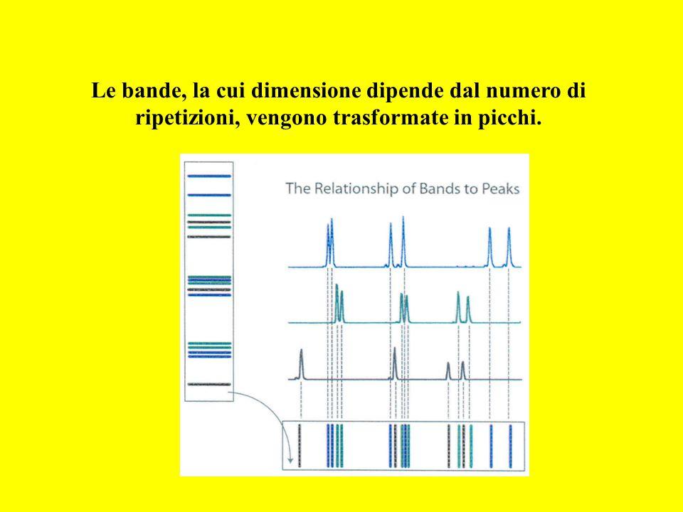 Le bande, la cui dimensione dipende dal numero di ripetizioni, vengono trasformate in picchi.