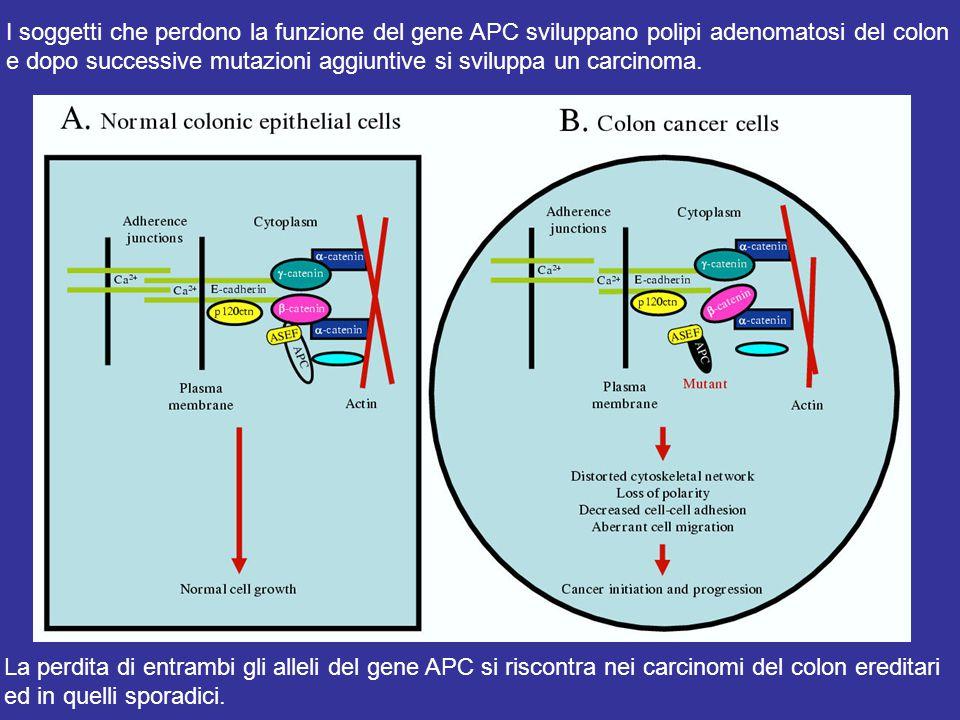 I soggetti che perdono la funzione del gene APC sviluppano polipi adenomatosi del colon e dopo successive mutazioni aggiuntive si sviluppa un carcinoma.