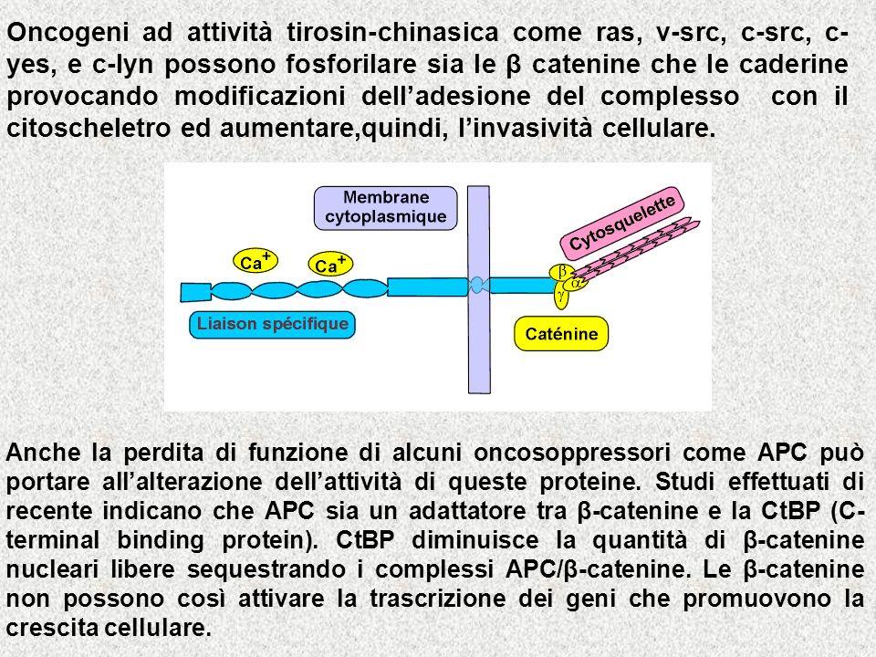 Oncogeni ad attività tirosin-chinasica come ras, v-src, c-src, c-yes, e c-lyn possono fosforilare sia le β catenine che le caderine provocando modificazioni dell'adesione del complesso con il citoscheletro ed aumentare,quindi, l'invasività cellulare.