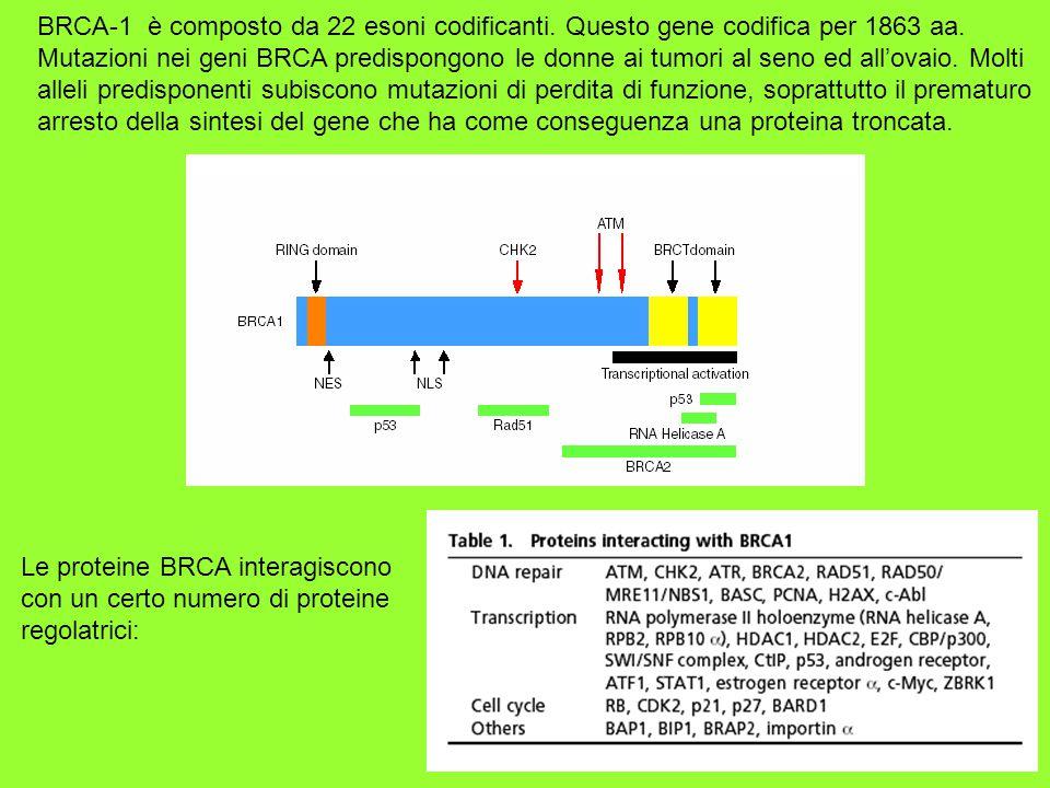 BRCA-1 è composto da 22 esoni codificanti
