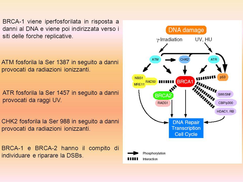 BRCA-1 viene iperfosforilata in risposta a danni al DNA e viene poi indirizzata verso i siti delle forche replicative.
