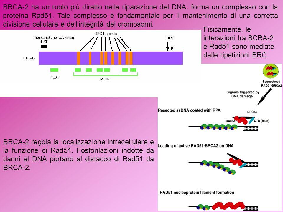 BRCA-2 ha un ruolo più diretto nella riparazione del DNA: forma un complesso con la proteina Rad51. Tale complesso è fondamentale per il mantenimento di una corretta divisione cellulare e dell'integrità dei cromosomi.