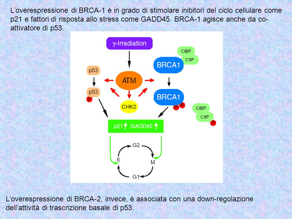 L'overespressione di BRCA-1 è in grado di stimolare inibitori del ciclo cellulare come p21 e fattori di risposta allo stress come GADD45. BRCA-1 agisce anche da co-attivatore di p53.