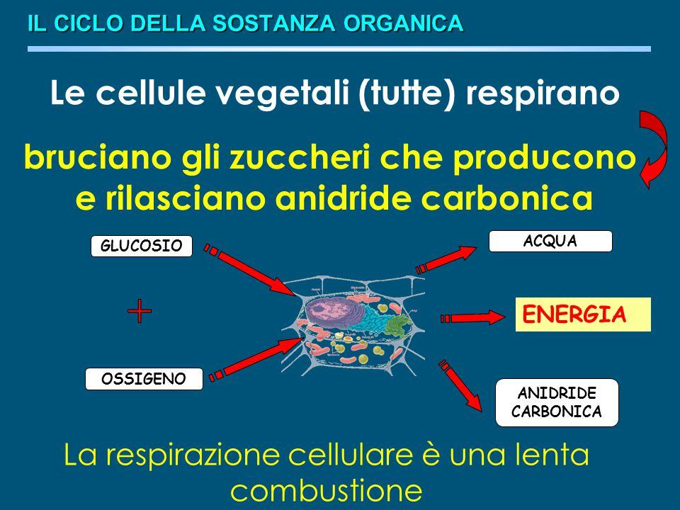 Le cellule vegetali (tutte) respirano