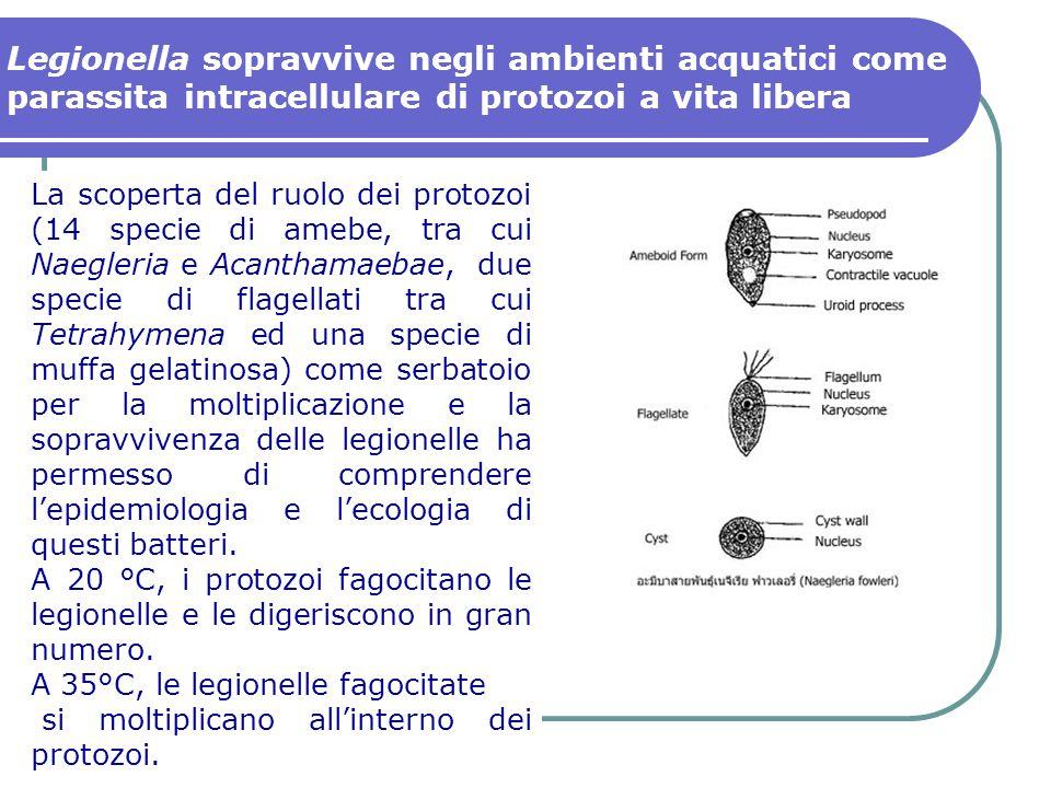 Legionella sopravvive negli ambienti acquatici come parassita intracellulare di protozoi a vita libera