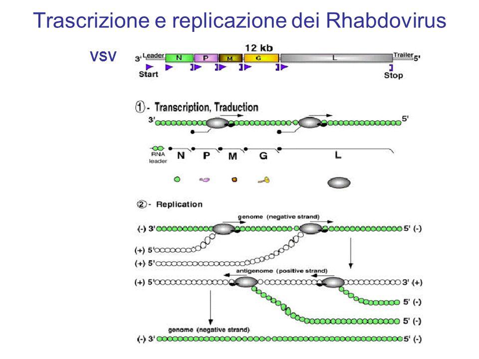 Trascrizione e replicazione dei Rhabdovirus