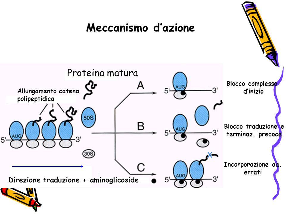 Meccanismo d'azione Proteina matura